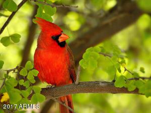 020_Arizona Red Cardinal