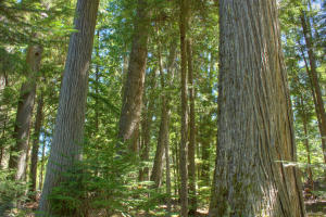 Mix of amazing old growth trees