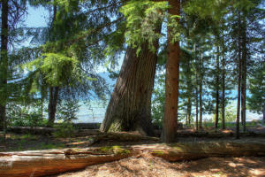 Stunning old growth trees