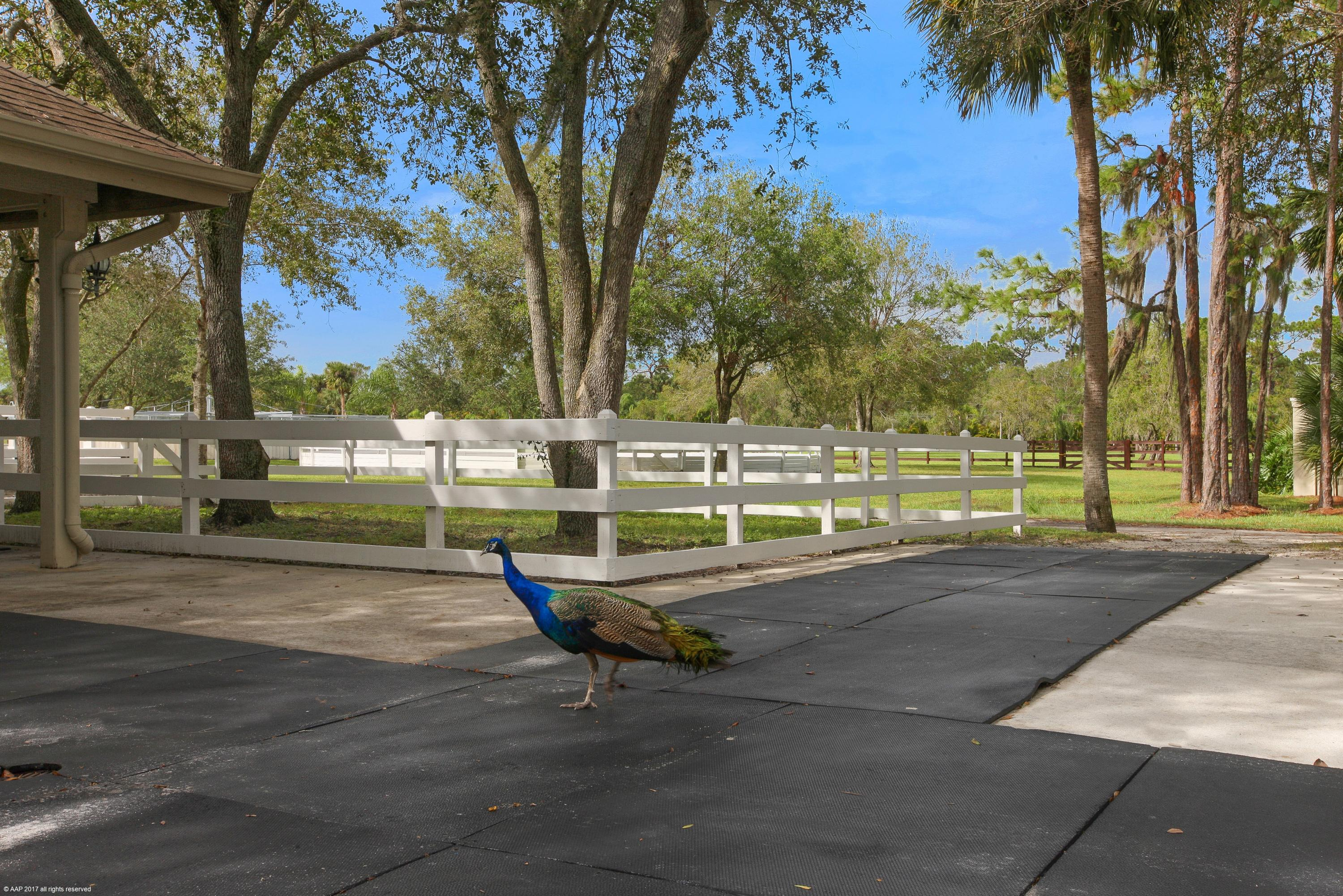 A Peacock visitor