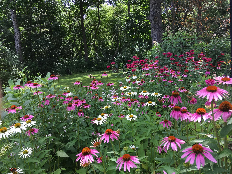 Summer Coneflowers, Daisies & Menarda