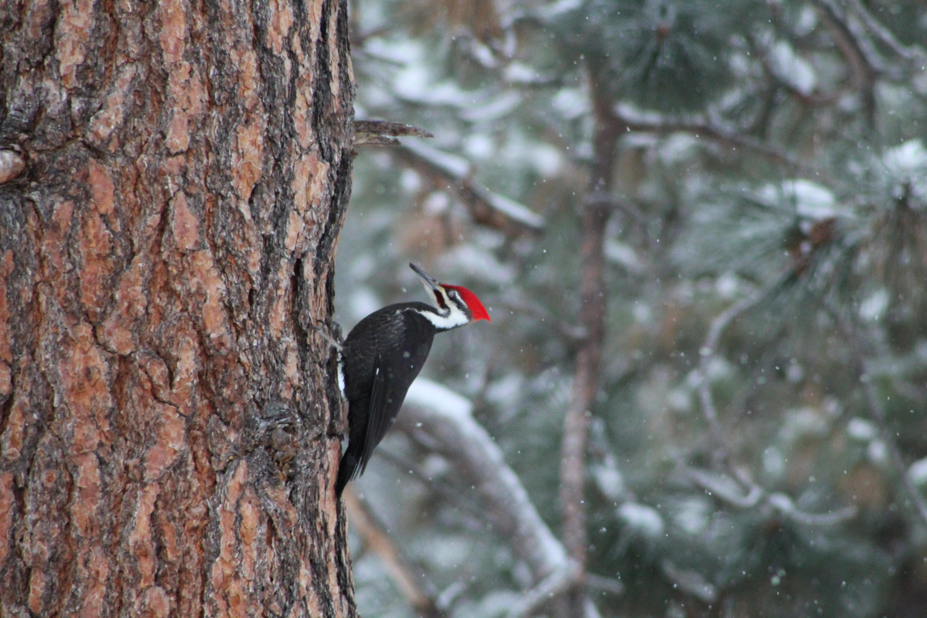 Redheaded woodpeckers in ryegate