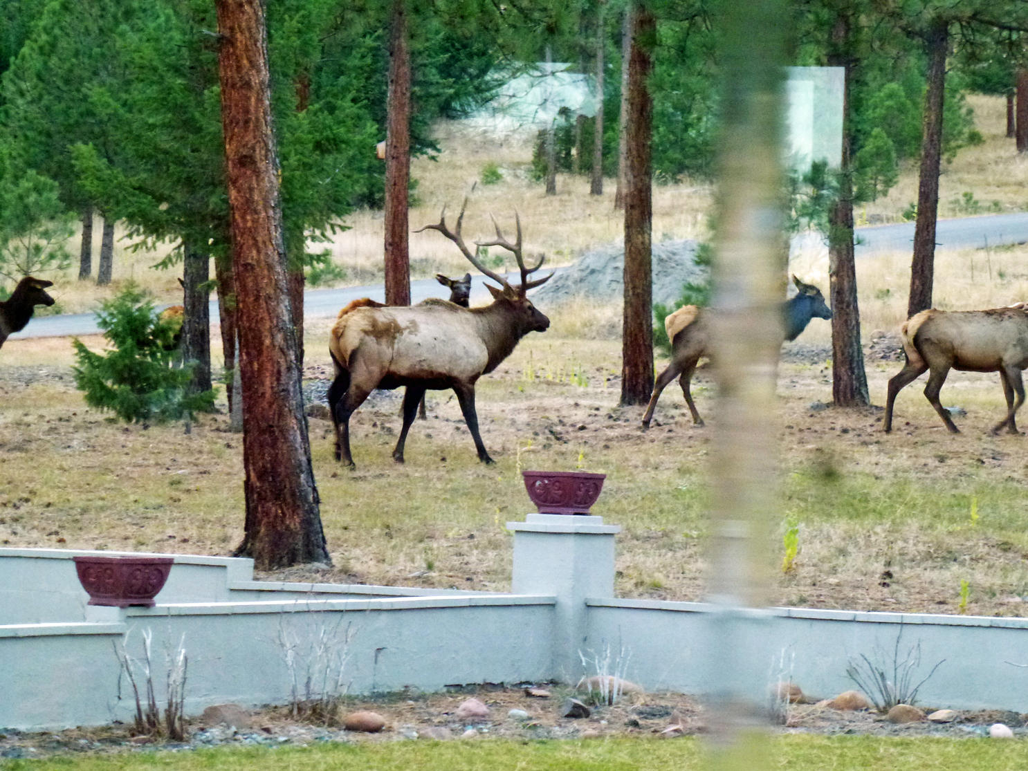 Elk in window 2