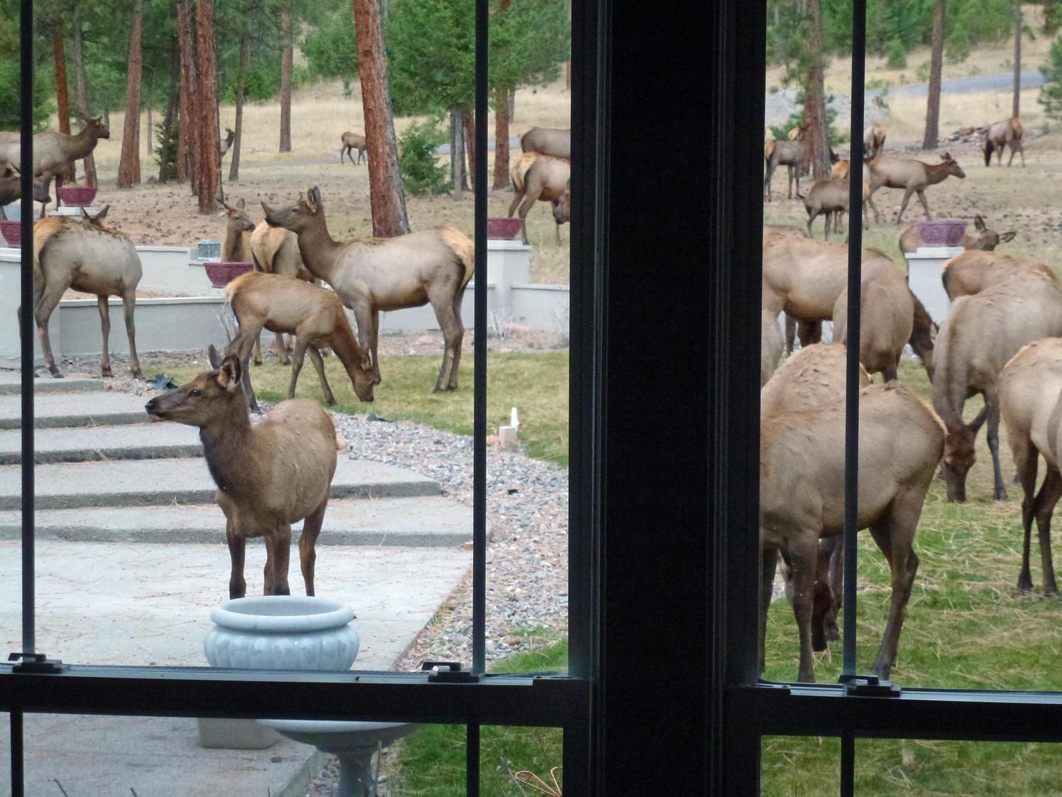 Elk in window
