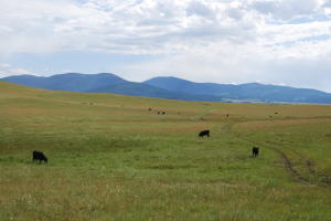 Little_Valley_Cattle_Grazing