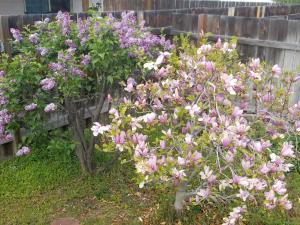 Terrea Crt small growing Lilacs and smal