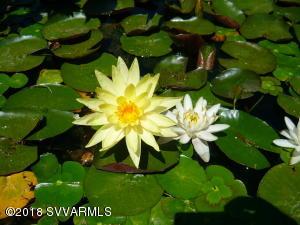 Beloved Water Lillies