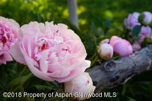 Huge Peony Bushes on Lot 18