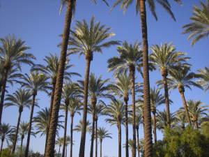 Palma Viva,Magical Date Palm Grove