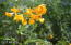 Yellowbells, Milkweed, Orange Julius, Fairy Dusters...