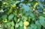 Fruit Tree in Yard, looks like grapefruit?