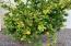 Meyer lemon tree!