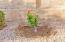 Fragrant Barbara Streisand rose bush.