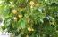 Mature Citrus: Grapefruit tree, Lemon tree, Orange tree, Peach and Plum