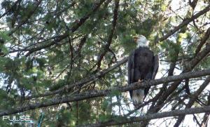 Kidd Island resident eagle