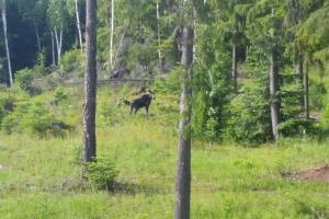 Moose Outside
