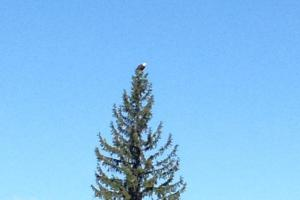 Eagle on Our Tree
