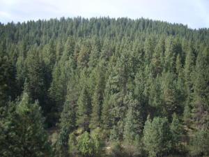 Ponderosa pine timber