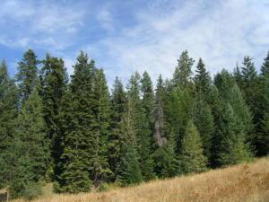 Grand fir timber