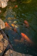 Stunning Koi Pond
