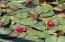 Lily Pads - Hot Pink, Pale Orange and White