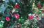 Numerous Camellias