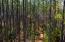 Mature Pine Trees.