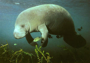 Local wildlife - Manatees