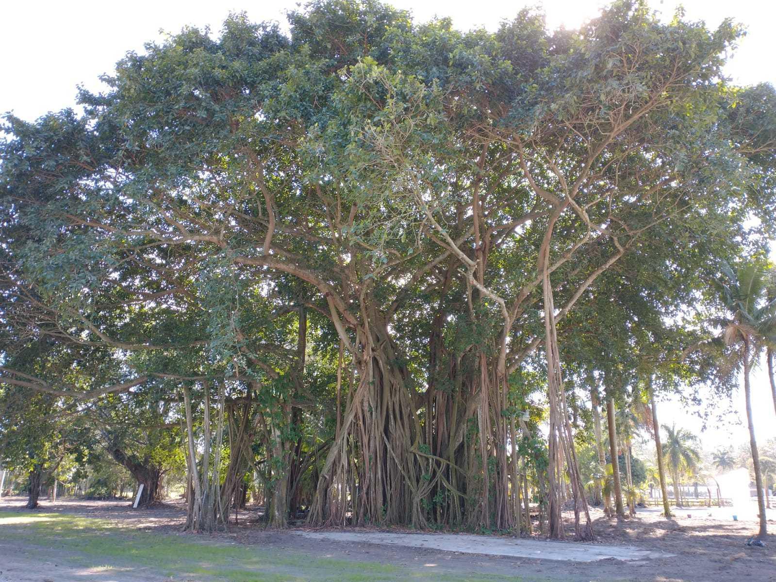 1100 banyan back