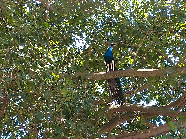 1100 peacock