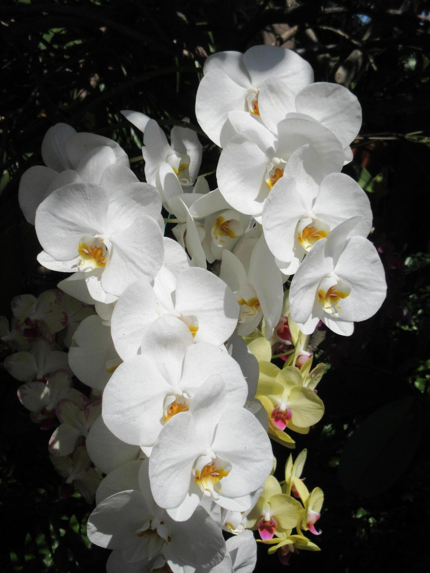 32 Seagate White Orchids