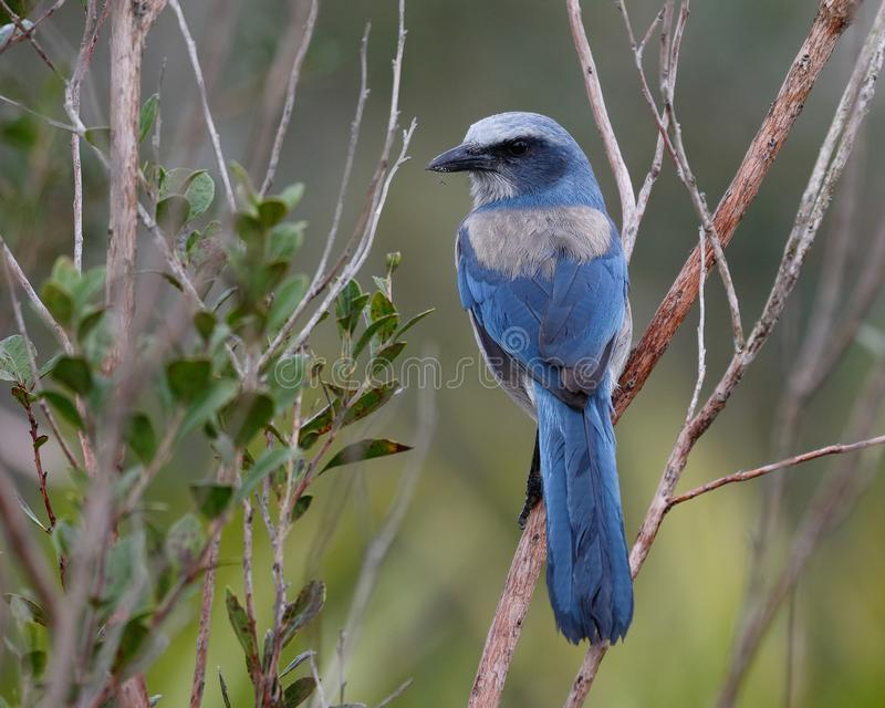 Scrub jay is protected