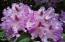 9466 Yachats River Rd, Yachats, OR 97498 - Another Rhodie in Bloom
