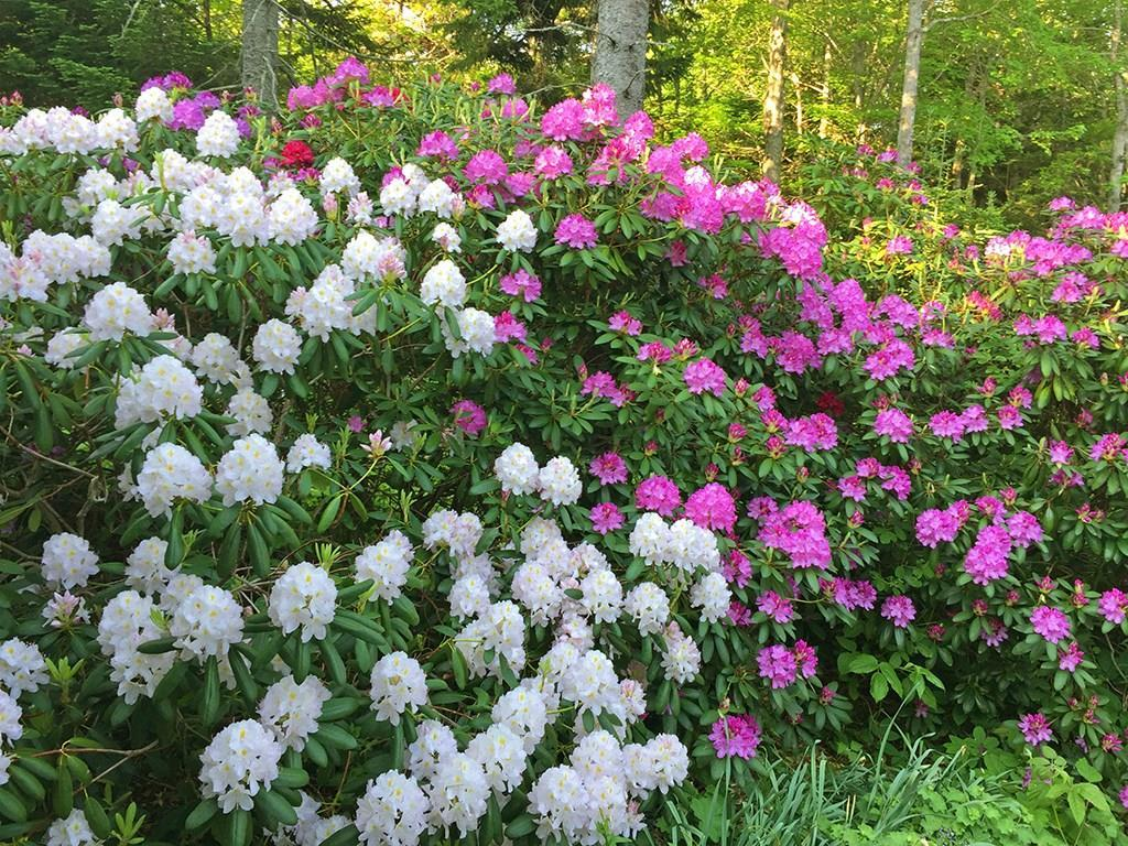 Rhododendrons in bloom!