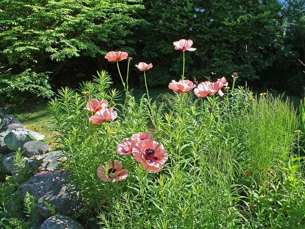 And poppies in the rockery