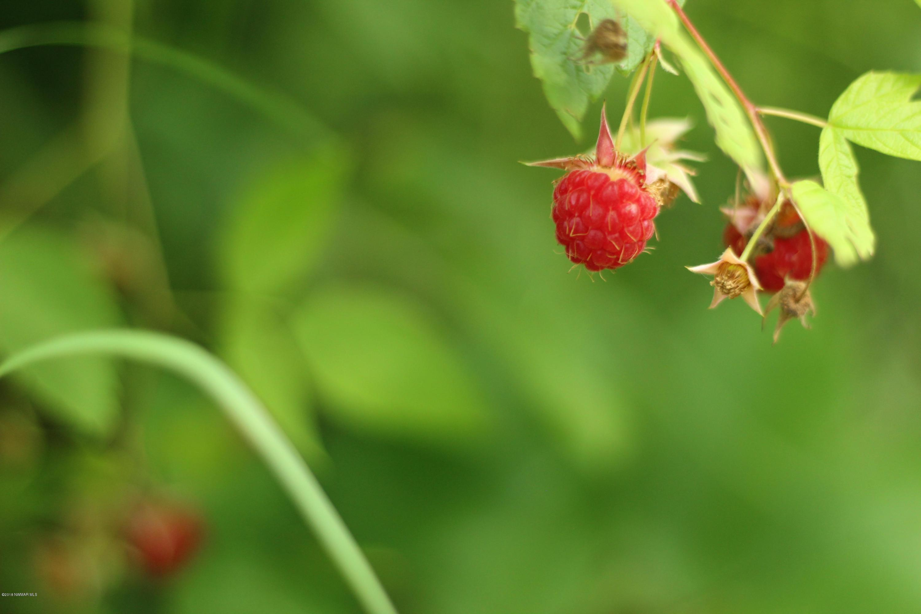 Raspberry bushes on the property