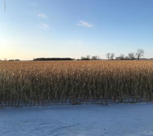 Corn-Standing Field