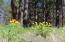 Balsam root in bloom behind house