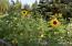 Sunflowers in the garden spot.