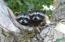 Racoon Baby Pair