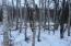 BIRCH TREES THROUGHOUT