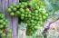 Niagara grapes are grown in the vineyard.