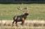 Bull Elk in the pasture