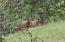 04-24-21 Elk - antlers just starting on the bulls