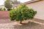 Mature citrus tree in side yard.