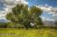 Lone Pecan Tree Adjacent To Barn