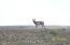 Antelope watching the property.