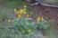 Arrowleaf Balsamroot blooms in June in the adjacent Shoshone N. F.
