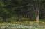 Arrowleaf Balsamroot blooms in June in the adjacent Shoshone N.F.