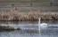 Nesting Trumpeter Swans